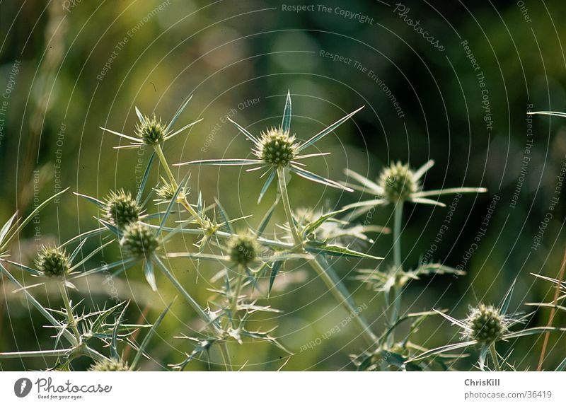 Distel Frühling grün Pflanze Natur Nahaufnahme Stachel