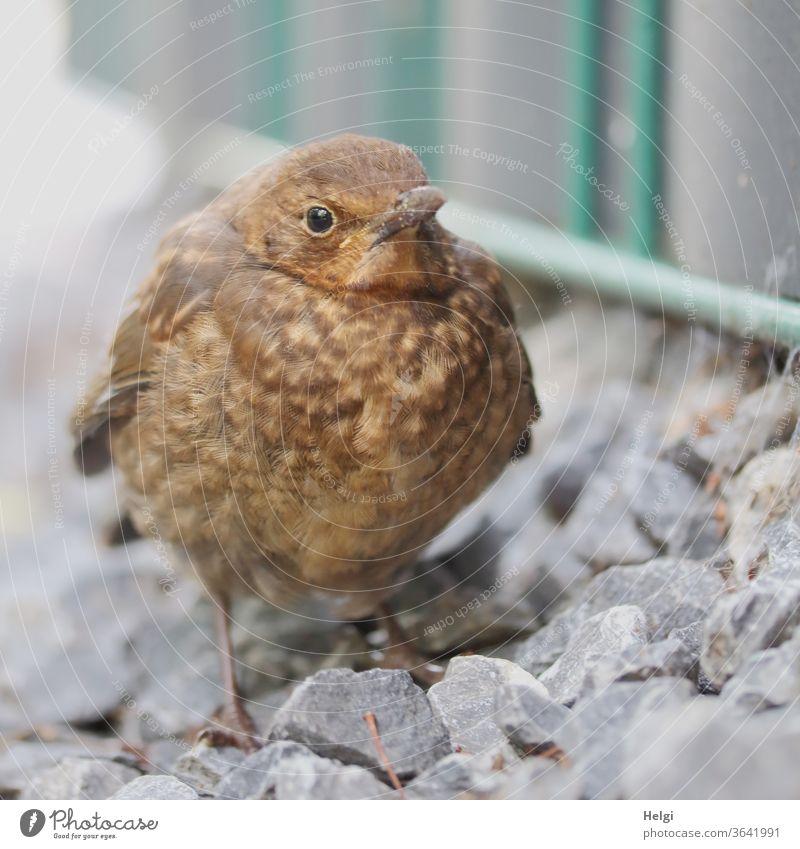 HUNGER - junge Drossel steht am Wegesrand und wartet auf Futter Amsel Jungvogel Vogel klein warten Hunger hungrig Gefieder dick aufgeplustert Blick Erwartung
