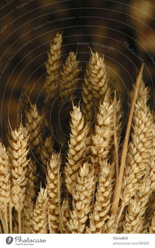 körnig dunkel Feld Getreide Landwirtschaft Amerika Korn