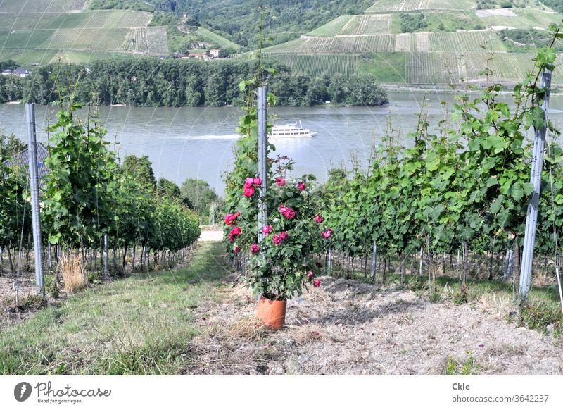 Pflanzenschutzmittel Mosel Weinberg Steillage Weinbau Schiff Bootsfahrt Aussicht Rebenfelder Riesling Ausflug Parzelle Kultivierung Rosen Frühwarnsystem Mehltau