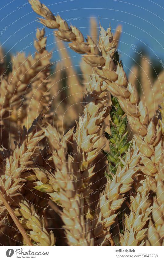 Getreidefeld, grüner Halm zwischen reifen Halmen Feld Landwirtschaft Ernte Lebensmittel Pflanze Sommer Ernährung Ackerbau Ähren Natur ökologisch Umwelt