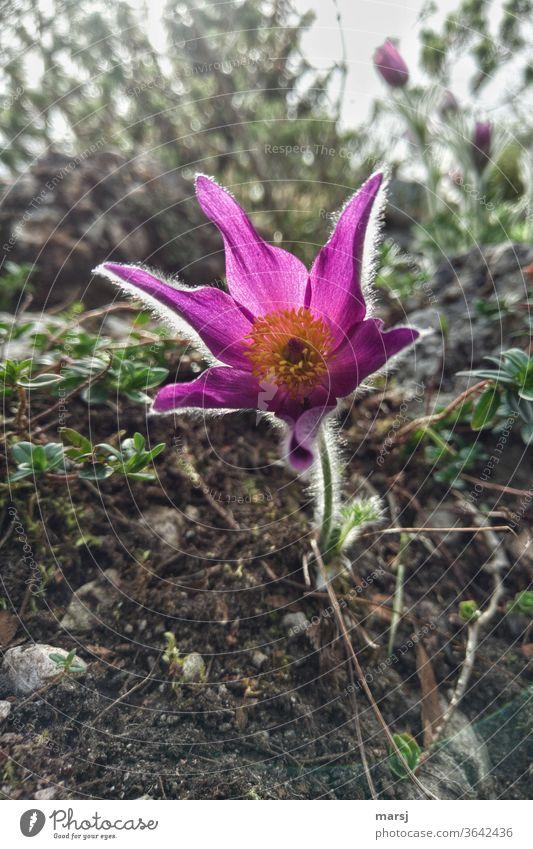 Küchenschelle, die sich lichtumsäumt von ihrer besten Seite zeigt Blume Frühling Blüte Natur Schwache Tiefenschärfe Blühend natürlich zauberhaft Lichtsaum