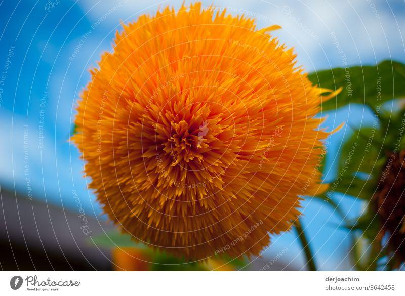 """Eine Große  Blüte - Blume. Ein Zaungucker """" Helianthus """", ist eine Planzenart aus der Gattung der Sonnenblumen,  in der Familie der Korbblüter ( Asteraceae )"""