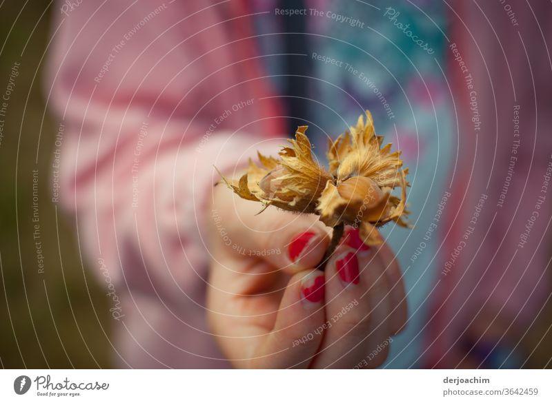 Mädchen- Hand mit roten Fingernägel zeigt eine gefundene Haselnuss mit Außenhülle. Natur Farbfoto braun Herbst Nuss Lebensmittel Nahaufnahme Ernährung