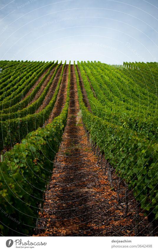 Weinberg.  Ein Wein  Stock nach dem anderen . Mit breitem Laufweg . Rechts und links sind die Grünen Weinstöcke. Weinbau Außenaufnahme Weintrauben Pflanze