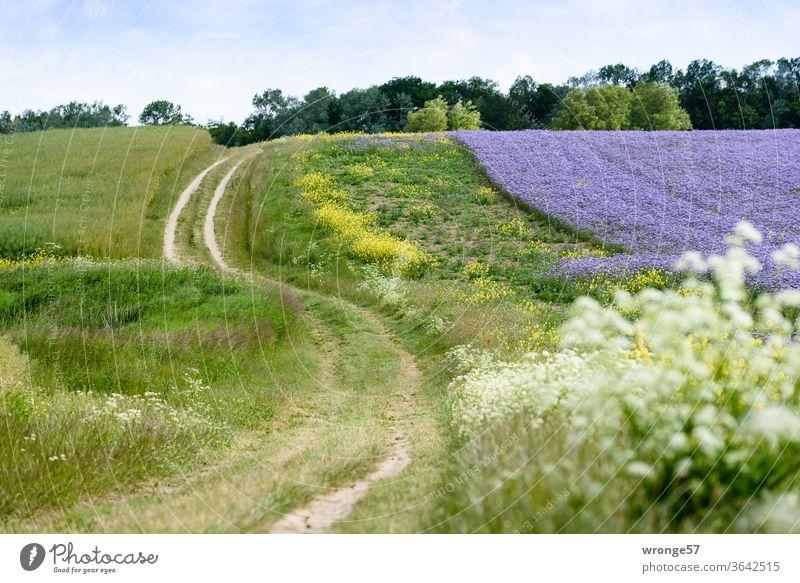 S-förmig schlängelt sich der Feldweg an einem lila blühenden Phaceliafeld entlang zu den beiden Leuchttürmen am Kap Arkona Natur Landschaft Felder Feldrand