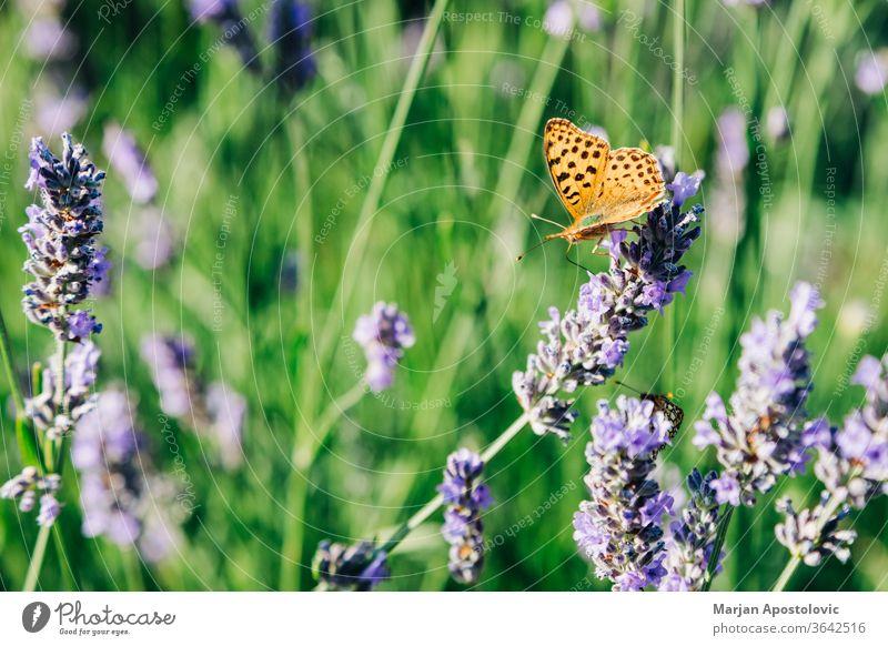 Wunderschöner Schmetterling auf Lavendelpflanze im Sommer Aromatherapie aromatisch Hintergrund Schönheit Blütezeit Überstrahlung Ast Buchse Nahaufnahme Farbe
