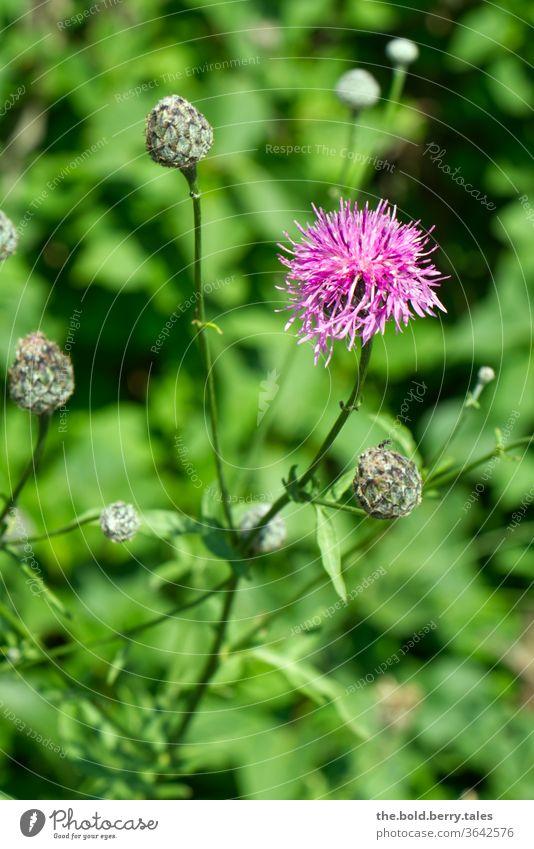 Skabiosen-Flockenblume Blume Pflanze blühend Blüte Natur Sommer Farbfoto Außenaufnahme Garten Menschenleer Schwache Tiefenschärfe grün lila schön violett Tag