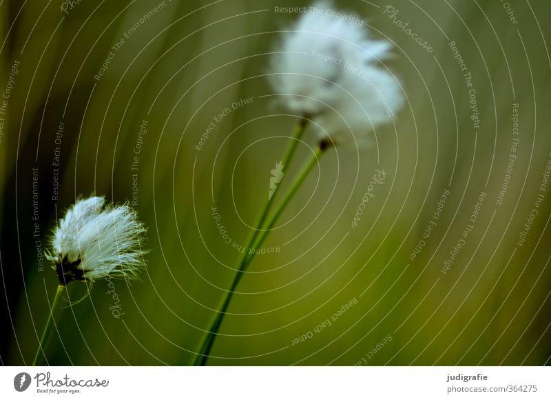 Gras Umwelt Natur Pflanze Wildpflanze Wiese Wachstum kuschlig natürlich wild weich grün Vergänglichkeit Wollgras Farbfoto Gedeckte Farben Außenaufnahme Tag