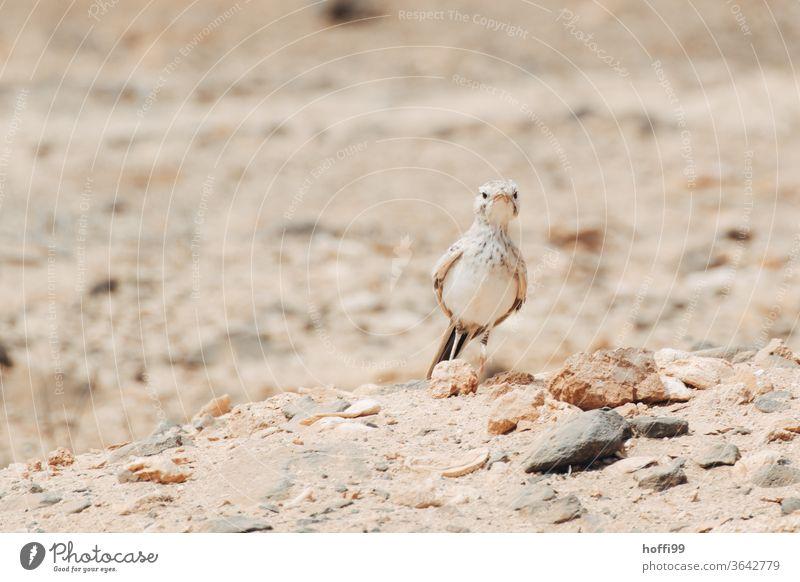 Der Vogel Steppenlerche, gut getarnt, hält Ausschau in der Wüste - was.issen.da.los ... Wüstenvogel wüstenlandschaft Sandstein Stein Natur Felsen