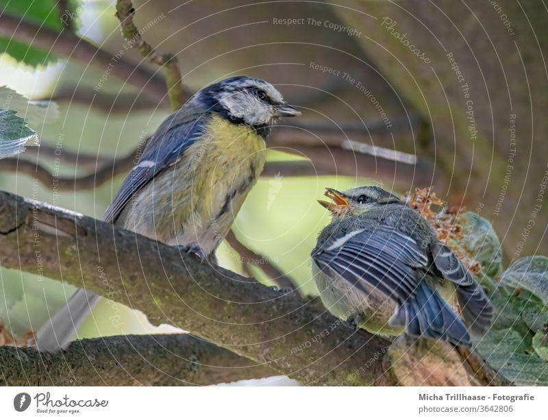 Blaumeisen bei der Fütterung des Nachwuchs Cyanistes caeruleus Meisen Tiergesicht Vogel Kopf Schnabel Auge Feder gefiedert Flügel Krallen Wildtier