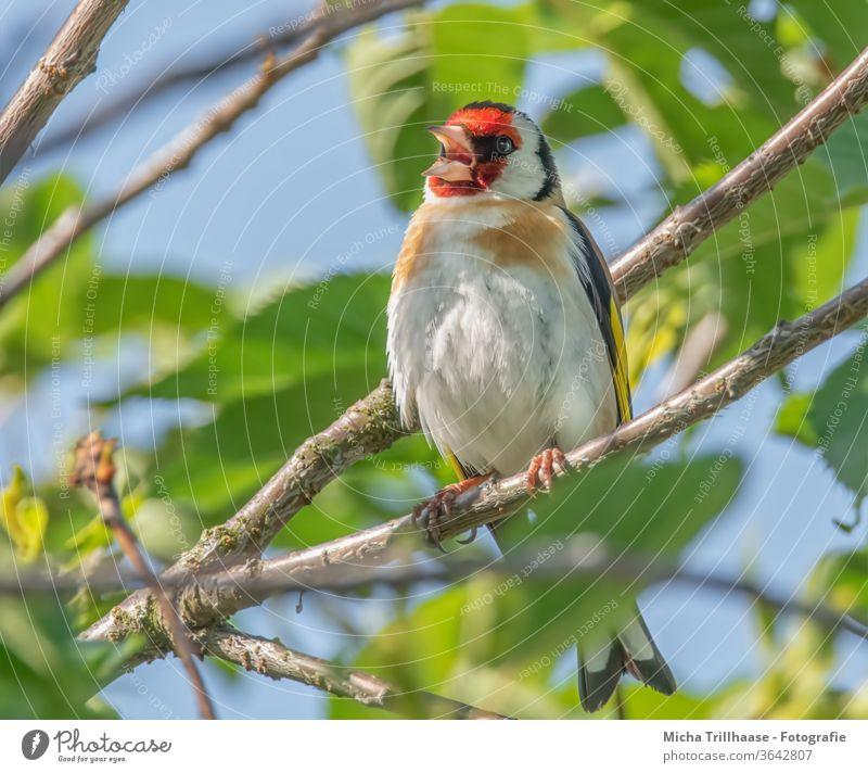 Singender Stieglitz im Baum Distelfink Carduelis carduelis Finken Vogel Wildvogel Tiergesicht Kopf Schnabel Auge Federn Gefieder Flügel Beine Krallen singen