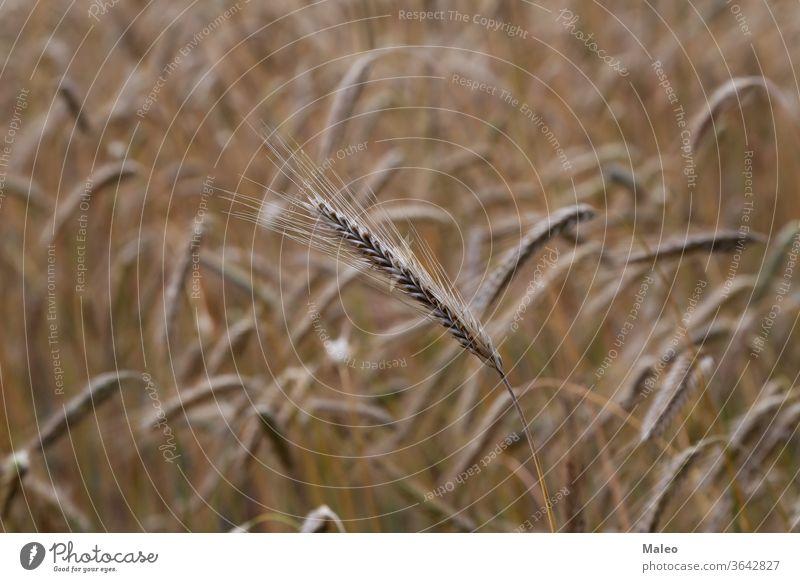 Auf dem Feld wachsende Goldene Ähren von Roggen Weizen Ernte Ohr Korn Landschaft Samen Sonne golden sonnig Brot Pflanze Ackerbau Müsli Bauernhof Wachstum Natur