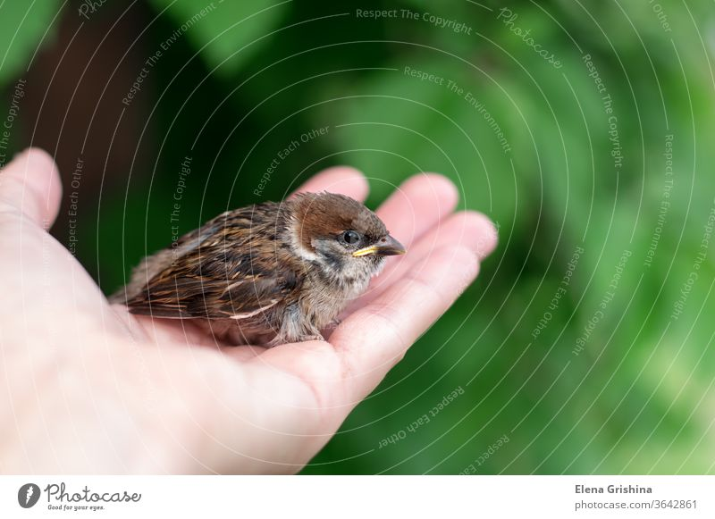 Das kleine Küken sitzt auf seiner Handfläche. Vogeltag Spatz Vogel in der Hand Tierwelt jung wenig Schnabel Feder Natur Baby braun Nahaufnahme Flügel schmiegend