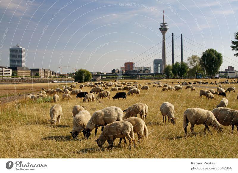 Schafherde weidet auf einem trockenen Feld in Düsseldorf, Deutschland Tier schön blau Großstadt Klima Klimawandel Umwelt Gras weiden Weidenutzung grün Herde