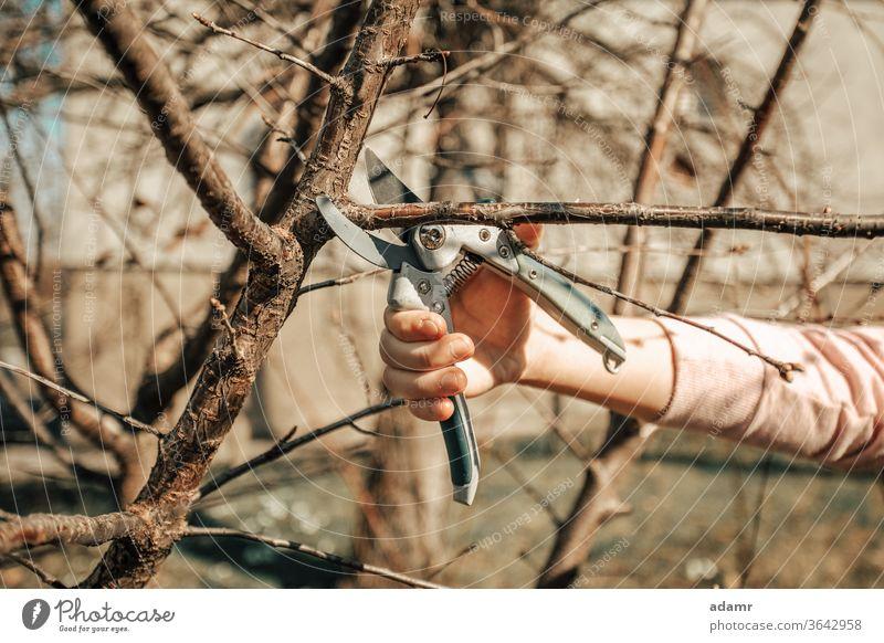 Obstbaum beschneiden - Zweige im Frühling schneiden Schneiden Baum Beschneidung Garten Frauen Werkzeug Hände Gartenarbeit geschnitten Ast Pflaume Trimmen