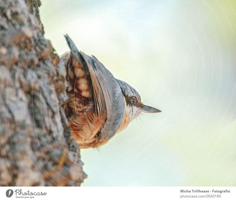 Kleiber beobachtet die Umgebung Sitta europaea Vogel Tier Wildtier Tiergesicht Kopf Schnabel Auge Flügel Feder gefiedert Krallen Blick beobachten hängen