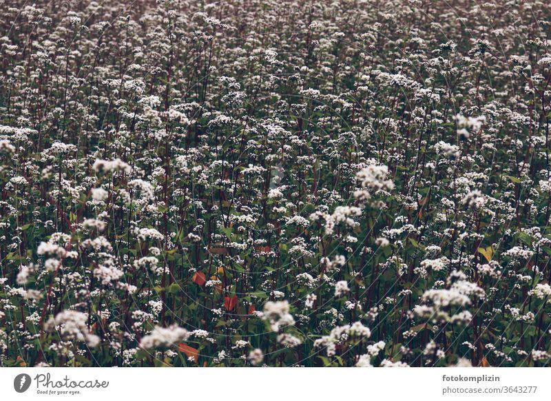 weißes Blütenmeer Blumenwiese Blühend Pflanze Naturliebe Blumenliebe Umwelt Feldblumen Sommerblumen Wiesenblumen Feldflora natürlich Vegetation Nutzpflanze