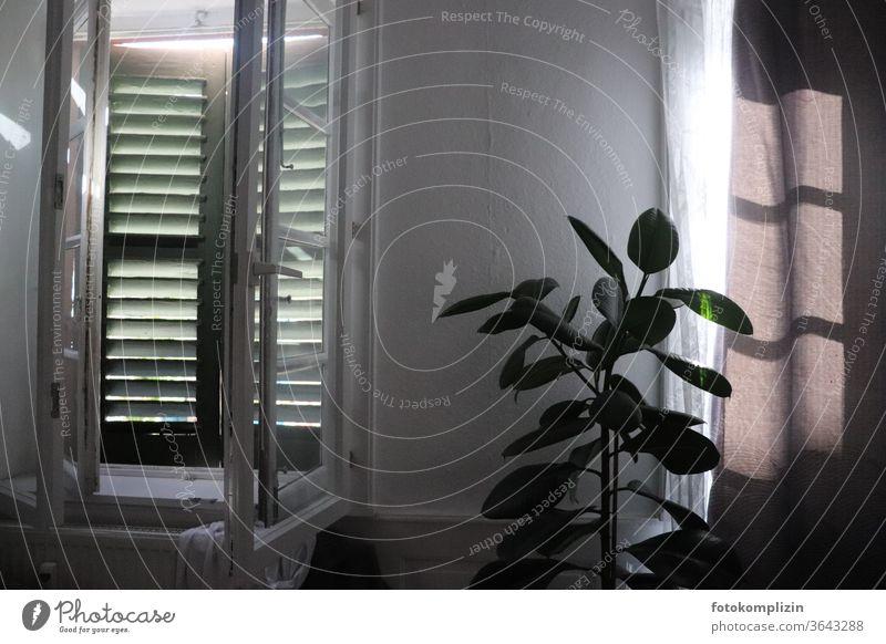 Innenaufnahme von Fenster mit Fensterläden und Zimmerpflanze Fensterladen Altbau Altbaufenster Vorhang Gummibaum Klappladen innen Innenarchitektur
