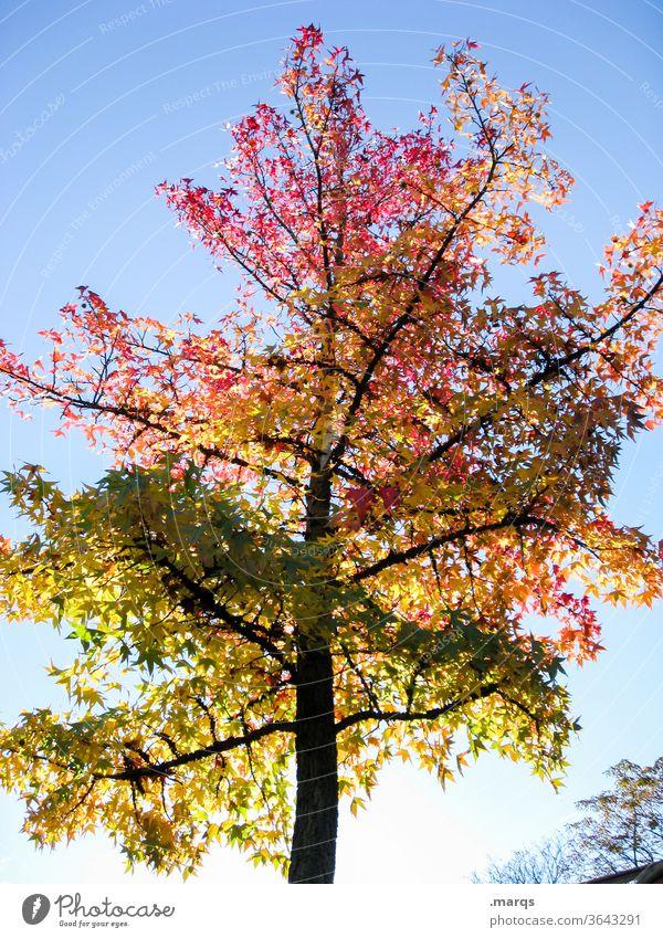 Bunter Baum Laubbaum Himmel Schönes Wetter Herbst rot orange grün Licht Natur Photosynthese
