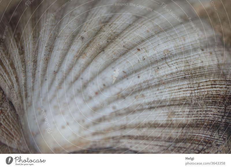 Muschelmuster - Schale einer Jakobsmuschel Pilgermuschel Muschelschale Muster Struktur Nahaufnahme Detailaufnahme Natur Makroaufnahme Gedeckte Farben grau weiß