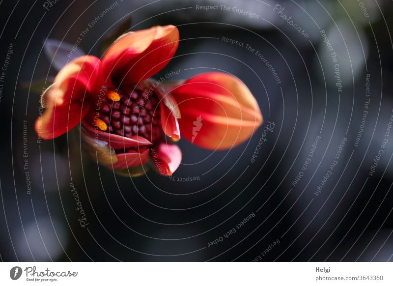 Öffnungszeit - eine wunderschöne rot-orange Dahlienknospe öffnet sich vor dunklem Hintergrund mit Bokeh Blume Blüte Dahlienblüte Aufbruch aufbrechen öffnen