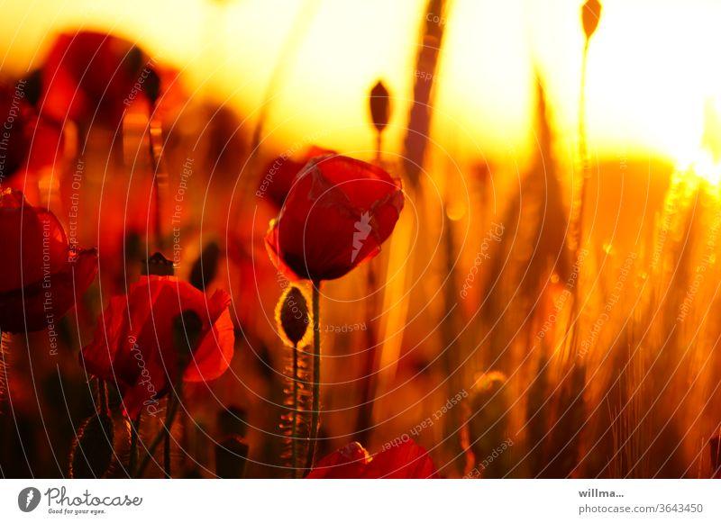 roter mohn bei sonnenuntergang Mohnblume Sonnenuntergang Mohnfeld Mohnblumenfeld Abendlich romantisch schön