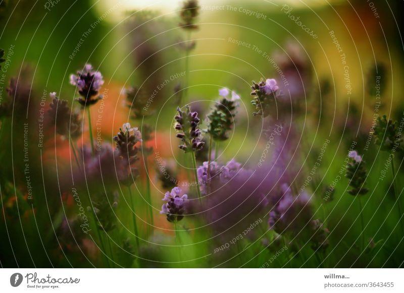 lavandula angustifolia Lavendel Blühend Heilpflanzen Blume violett Duft Pflanze Blumenwiese Blüte Natur Sommer Schwache Tiefenschärfe