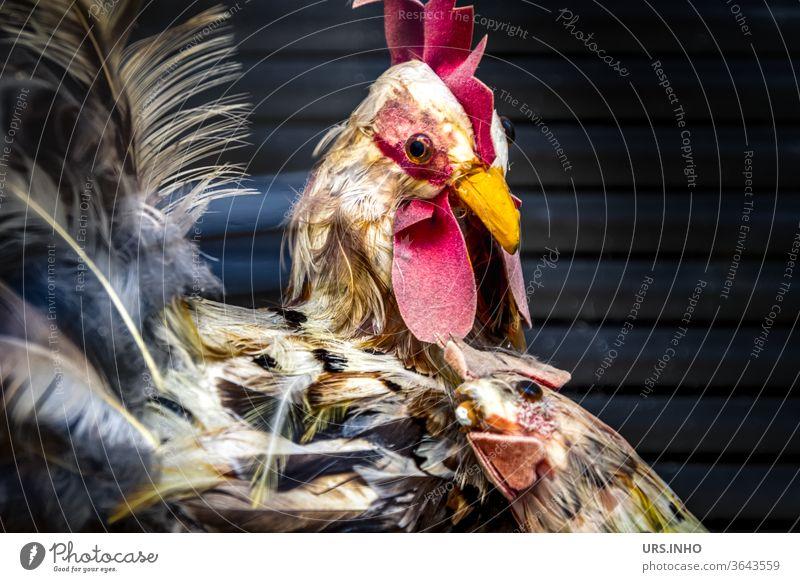 aus den Federn wurde ein Deko-Huhn | Henne schmiegt sich an Hahn Federvieh Dekoration dekoriert Vogel Haushuhn Farbfoto