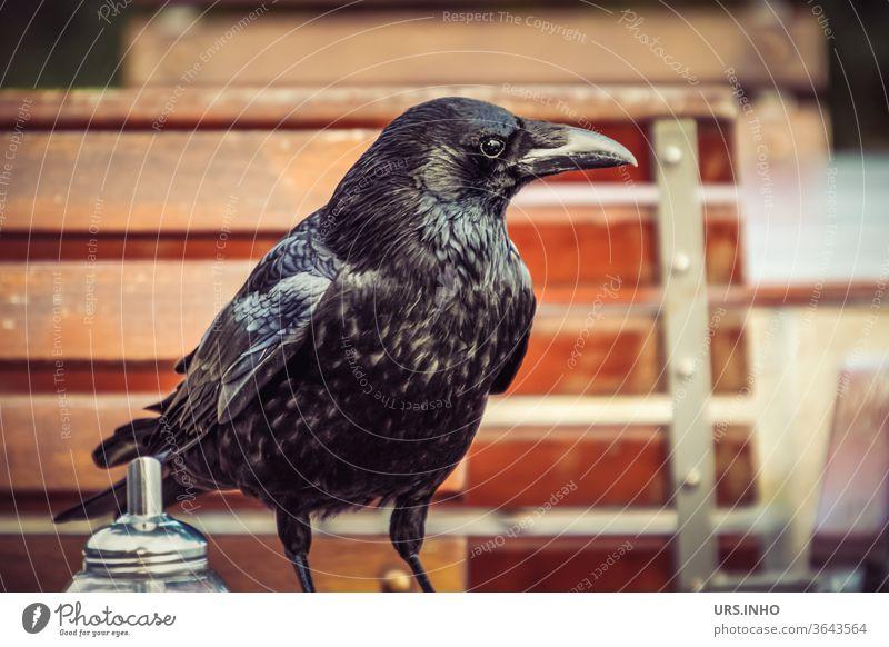 Eine Rabenkrähe beim Kaffeeklatsch im Gartencafe Krähe Vogel Rabenvogel schwarz Federkleid corvus mellori Gesellschaftskrähe suchen interessiert Blick Tier