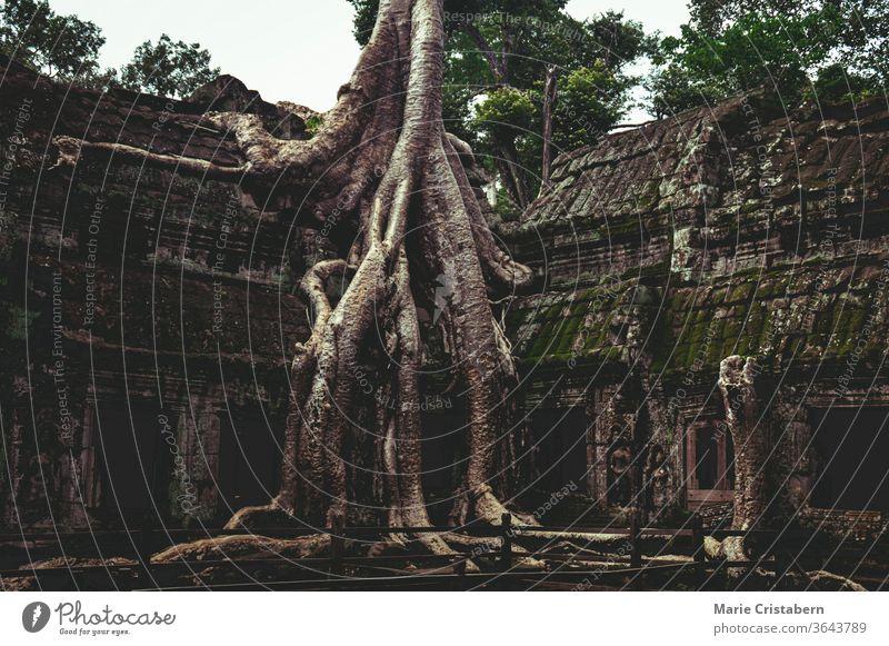Banyanbaum im berühmten Ta Prohm im Archäologischen Park von Angkor, Krong Siem Reap Kambodscha archäologischer park angkor Ta Prohm Tempel siem reap kambodscha