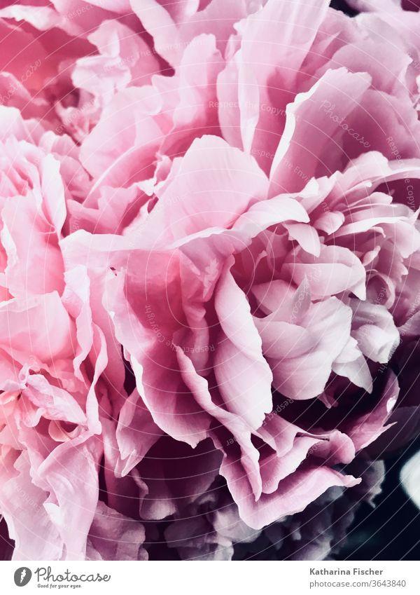 Blütenblätter einer Pfingstrose Blume rosa Pflanze Farbfoto Natur Frühling schön Nahaufnahme Sommer frisch natürlich Blütenblatt Blühend Blütenknospen