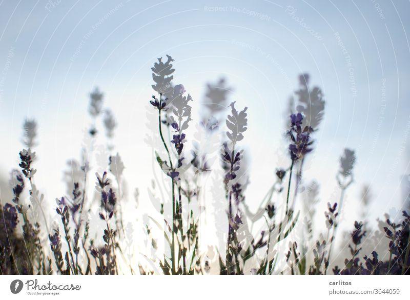 Herr Ober, einen doppelten Lavendel bitte ! Doppelbelichtung Leichtigkeit violett Pflanze Duft Sommer Blüte Blume Natur Schwache Tiefenschärfe Blühend grün