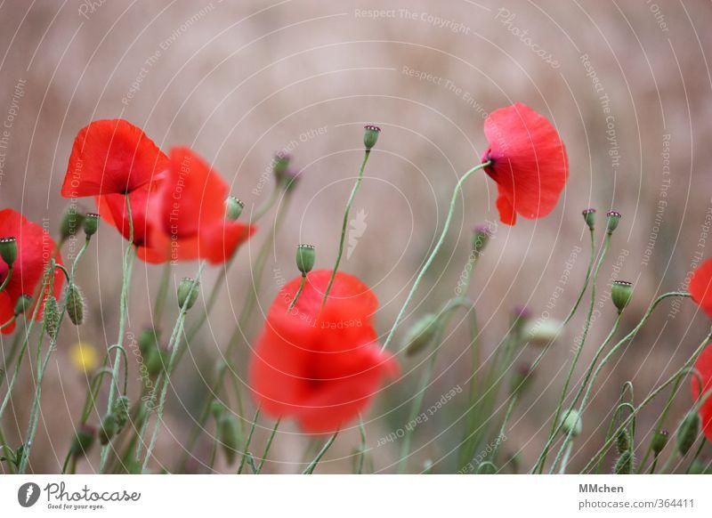 Längst vergangene Tage Natur Sommer Mohn Blüte Blühend Garten Wiese Feld stehen Wachstum rot Optimismus Kraft Gelassenheit geduldig Hoffnung verblüht Stengel