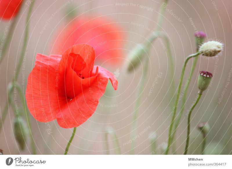 Der Lauf der Dinge Natur Pflanze Frühling Blüte Garten Feld alt Blühend Duft Wachstum grün violett rot Hoffnung Beginn schön Vergänglichkeit Mohn