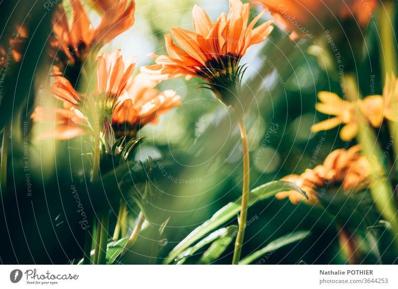 Ringelblumen im Garten Nahaufnahme Natur grün roange Blume Farbfoto Detailaufnahme Außenaufnahme Sommer Frühling Blühend Frühlingsblume Blüte natürlich