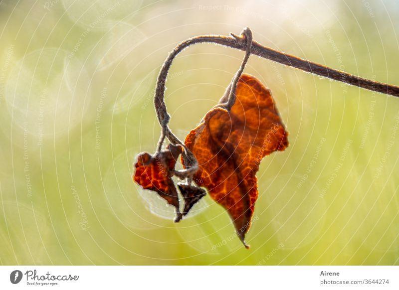 Charme des Alters Herbst braun rot Vergänglichkeit trocken Hintergrund neutral rotbraun dehydrieren Abschied Wandel & Veränderung Sonnenlicht Lichterscheinung