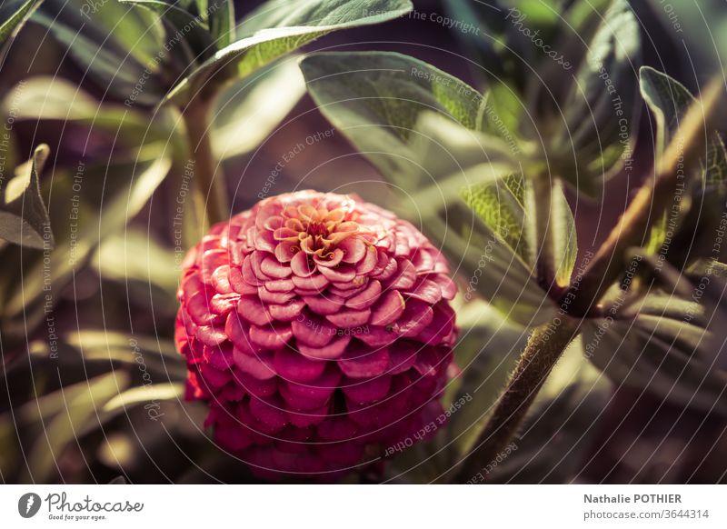 Rosa Dahlie Dahlien Blume rosa Sonnenstrahl Blätter Farbfoto Blüte Garten Blühend Natur Pflanze Außenaufnahme Blütenblätter Blütenblatt Sommer Gartenpflanzen