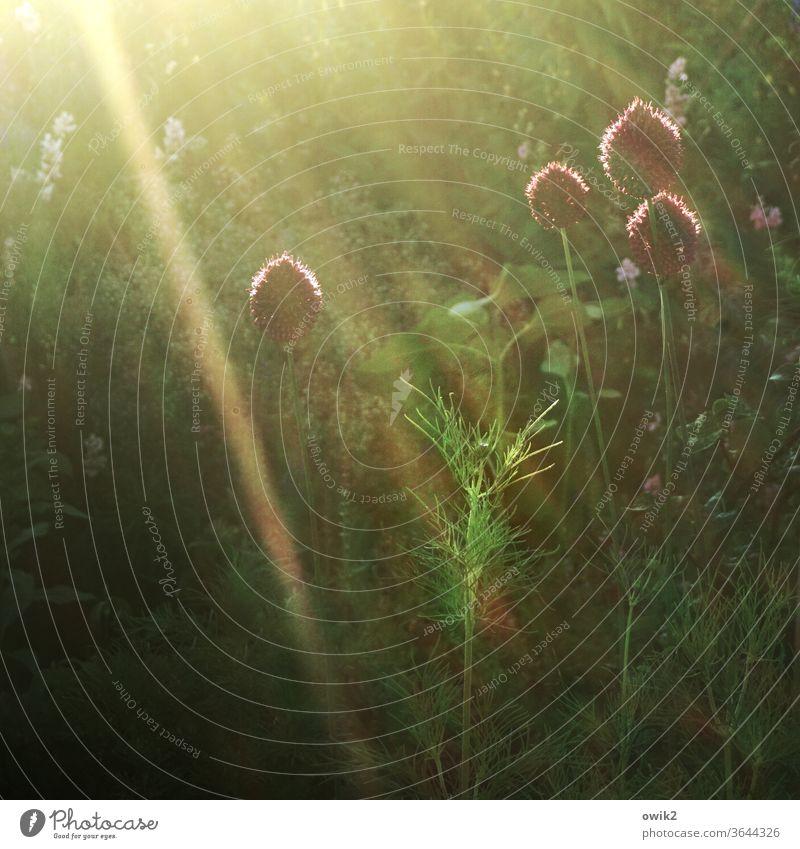 Allium Zierlauch Zierlauchblüte Natur Außenaufnahme draußen Sommer Tag grün Pflanze Sträucher Wiese Garten Menschenleer Farbfoto Umwelt natürlich Landschaft