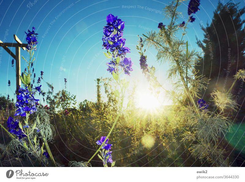 Ansporn leuchten wachsen blühen Wiesenblumen Schwache Tiefenschärfe Himmel Wolken bewegen Gegenlicht Sonnenlicht frisch Textfreiraum oben Schönes Wetter