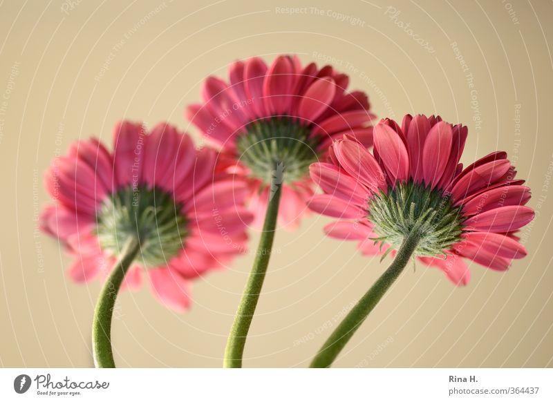 RückAnSicht Blume Blühend frisch hell rosa rot 3 Gerbera Blüte Stengel Farbfoto Menschenleer Textfreiraum oben Schwache Tiefenschärfe