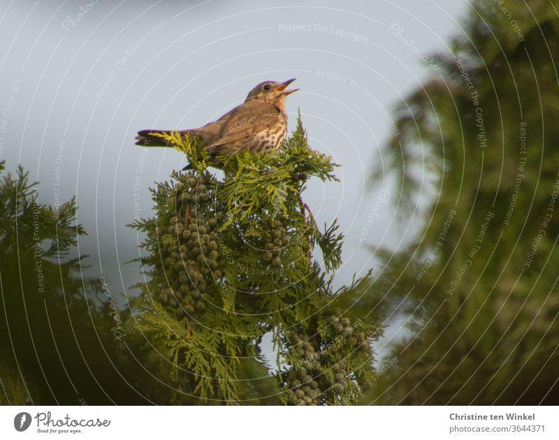 Singdrossel  (Turdus philomelos) sitzt hoch oben in einer Gartenzypresse und singt Vogel Singvogel singen braun grün Baum Pflanze Natur Umwelt Sommer Frühling
