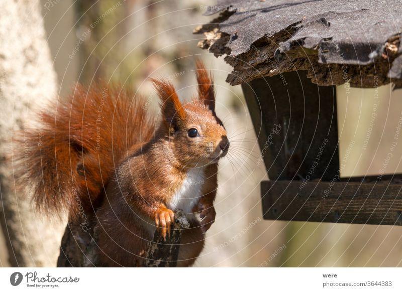 Europäisches Braunes Eichhörnchen im Winterfell am Futterhäuschen Hintergrund Sciurus vulgaris Tier Ast Niederlassungen Textfreiraum kuschlig kuschelig weich