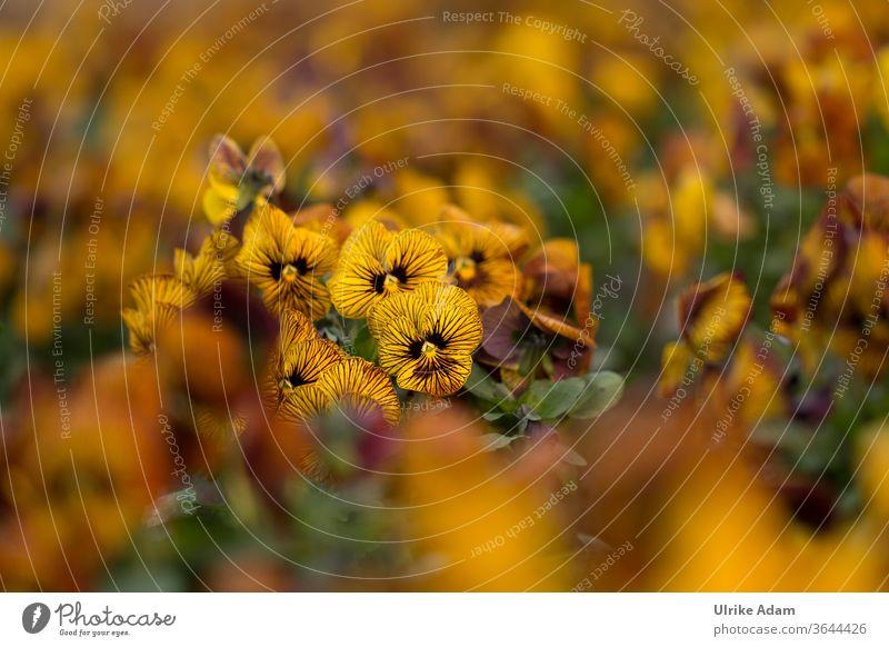 Gestreifte gelbe Stiefmütterchen ( Viola ) im Feld gestreift Veilchengewächse Blumen Blüten Sommer Garten Fröhlich Floral Botanisch Viele Streifen Essbare Weich