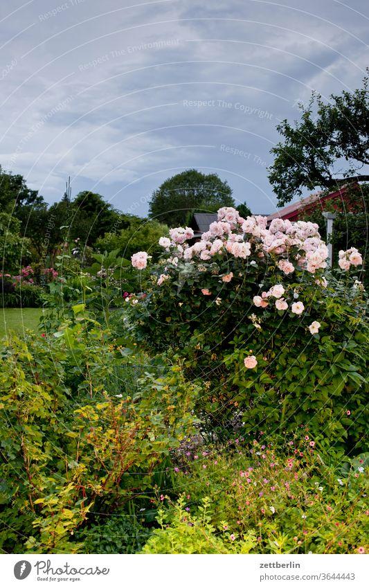 Rosen im Garten rose abend rosenblüte blitz blitzlicht blume blühen dunkel erholung ferien garten blütenblatt kleingarten kleingartenkolonie menschenleer nacht