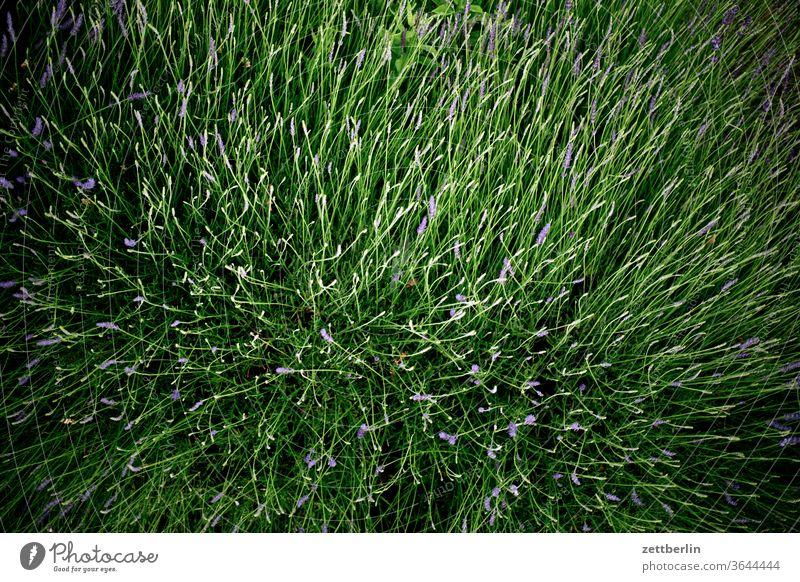 Lavendel again lavendel gewürz kraut heilkraut heilkräuter provence frankreich parfume parfüm duft duftstoff rohstoff sommer blume blüte