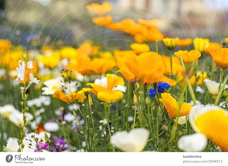Blumenwiese mit vorwiegend gelben Blüten, weniger weißen und punktuell blauen und violetten Blüten. Focus liegt auf der Mitte des Bildes, deshalb unscharfer Vorder- und Hintergrund Mitte