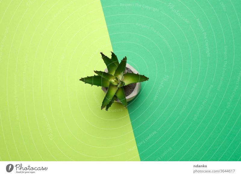 Keramiktopf mit wachsender Aloe auf grünem Hintergrund Pflanze Topf eingetopft Raum einfach klein Stil Tisch oben Botanik Farbe farbenfroh kreativ Dekor