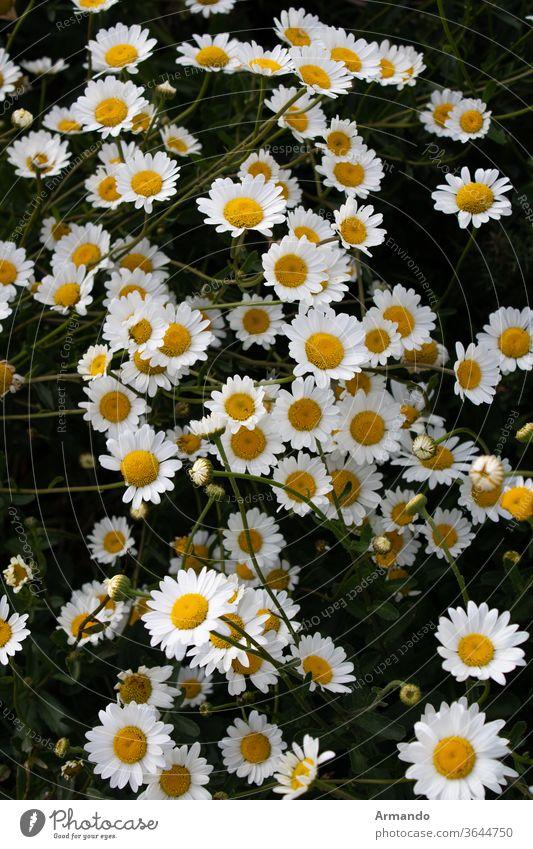 Margaritas in Gruppen bei Sonnenuntergang Blume Gänseblümchen Natur Sommer weiß Obstgarten Fabrik gelb Frühling Kampagne grün Flora Echte Kamille Blütezeit