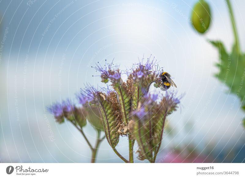 Hummel auf Blüte Blume Insekt Tier Sommer Natur Außenaufnahme Farbfoto Pflanze Tag Nahaufnahme Menschenleer Flügel Makroaufnahme Detailaufnahme Wildtier Garten